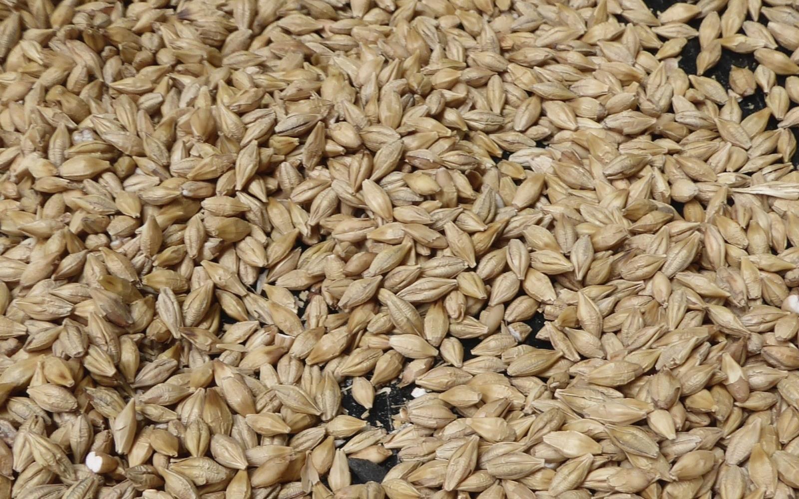 Barley Grains - Photo: Flickr/ Emma Jane Hogbin Westby