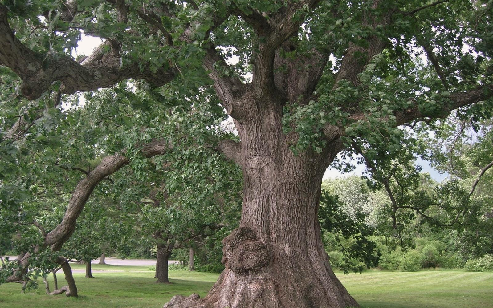 White Oak Tree - Photo: Wikimedia Commons / Msact
