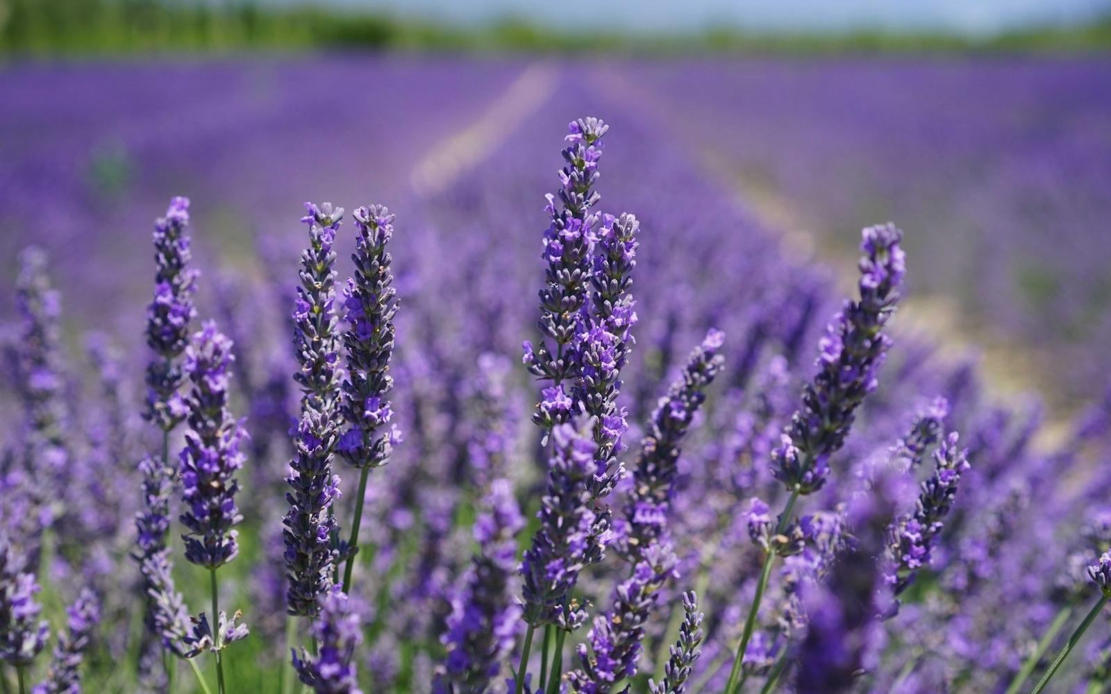Lavender isn't widely used in Gin (yet), but there are a couple of recent releases which hero this delicate, floral flavour.