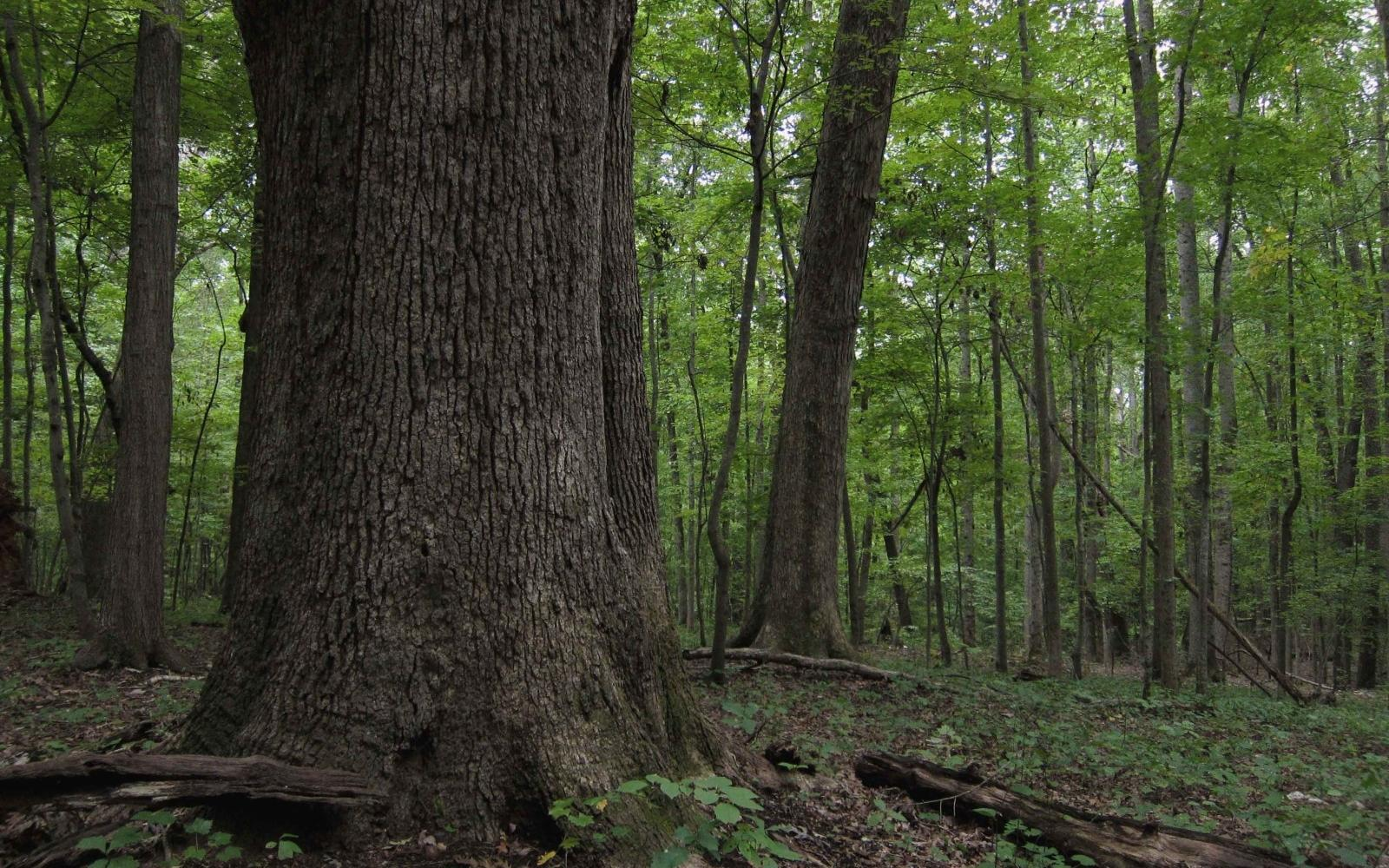 White oak (Quercus alba) - Photo: Flickr/ Miguel Vieira