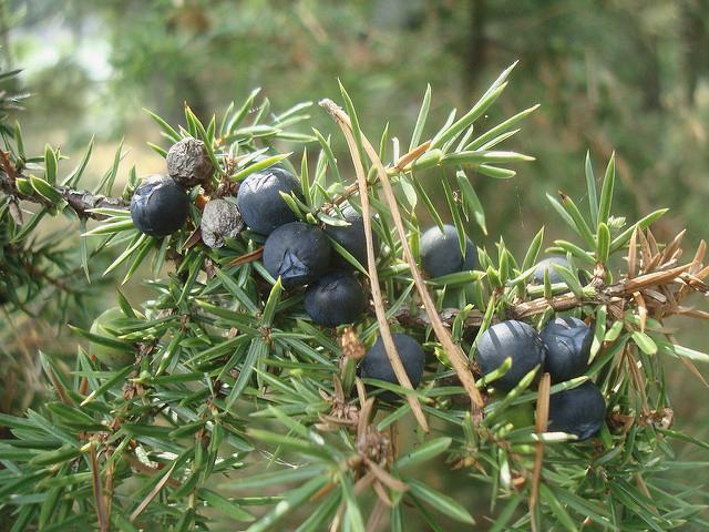Juniper Berries - Photo: Flickr/sebilden
