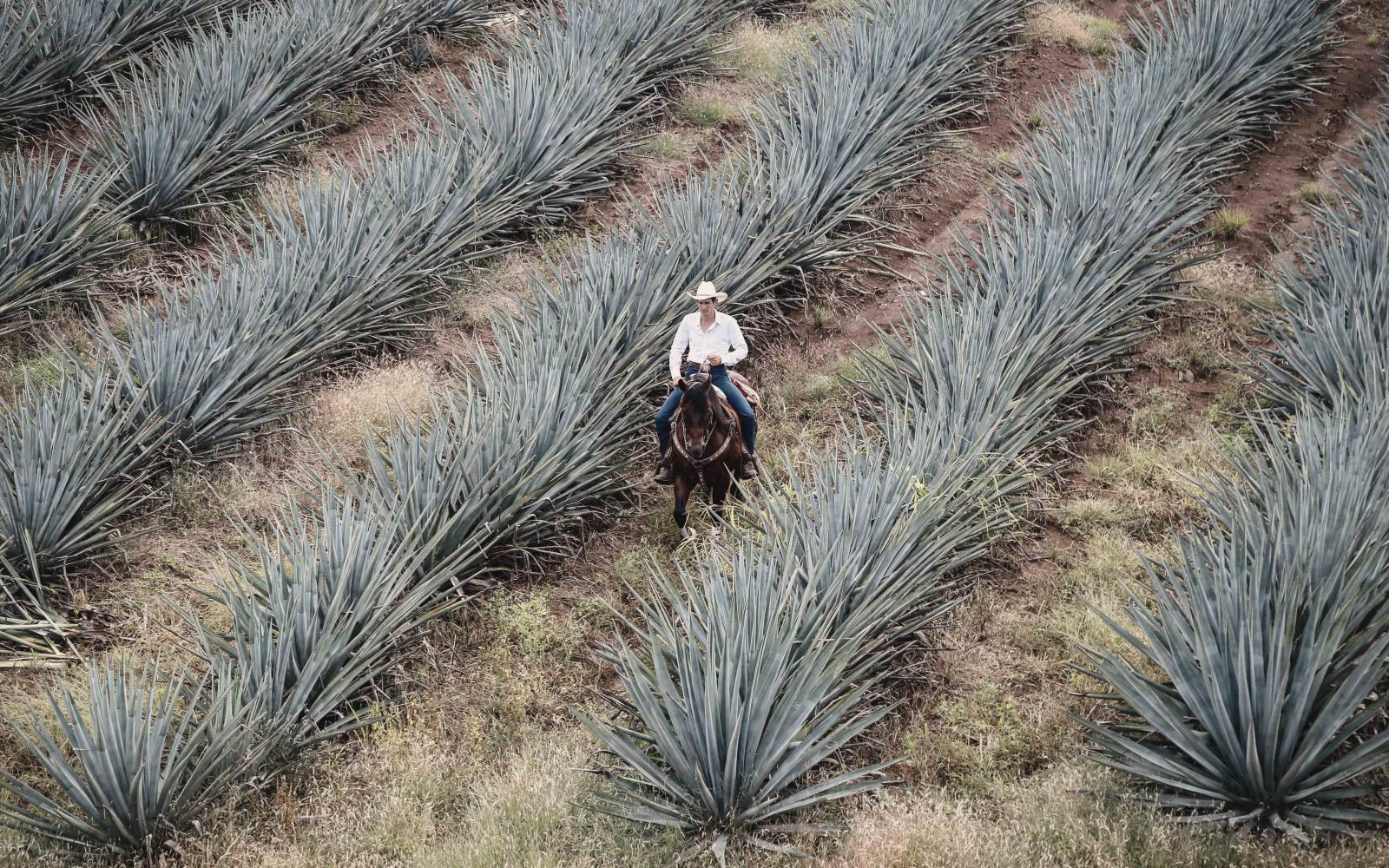 Agave Fields