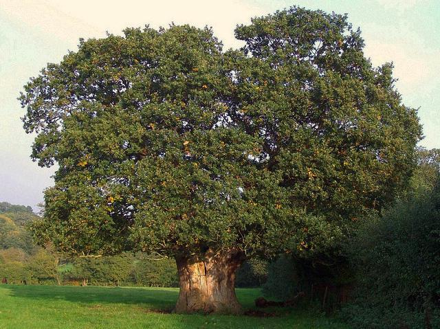 Oak tree / Photo: Flickr - anemoneprojectors