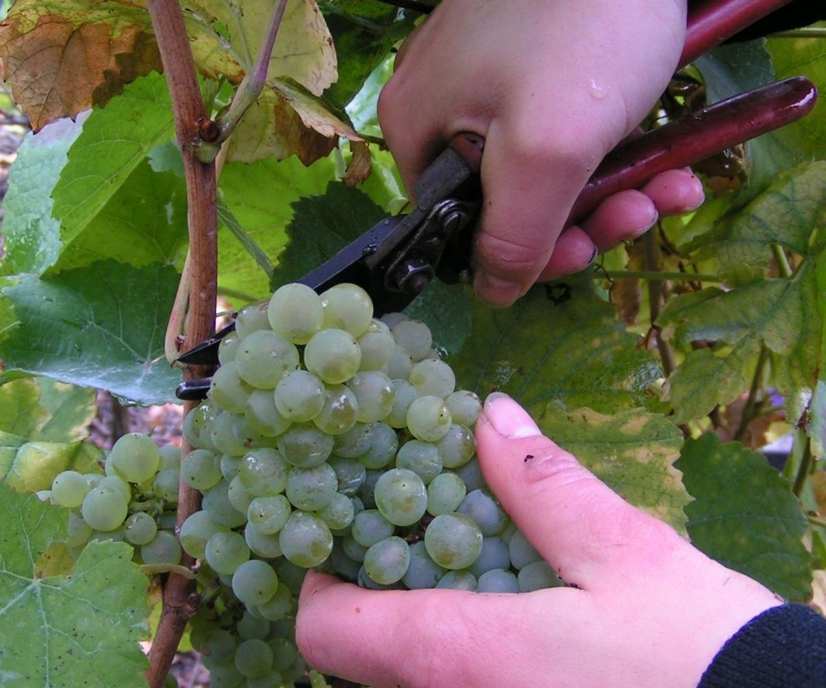 Picolit Grapes - Photo: Wikipedia