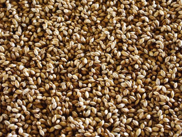 Barley - Photo: Flickr / emmajane