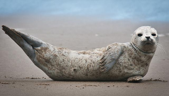 This is seal for thanks! - Photo: Flickr/nwcouncil